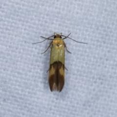 Stathmopoda crocophanes (A concealer moth) at Melba, ACT - 3 Nov 2020 by kasiaaus