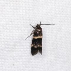 Crossophora semiota (A Concealer moth) at Melba, ACT - 3 Nov 2020 by kasiaaus