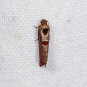 Glyphidoptera insignana at Melba, ACT - 3 Nov 2020