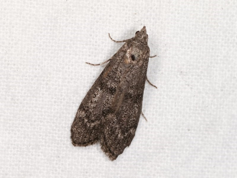 Heteromicta pachytera at Melba, ACT - 3 Nov 2020