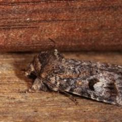 Thoracolopha verecunda (A Noctuid moth (group)) at Melba, ACT - 3 Nov 2020 by kasiaaus