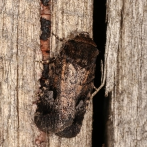 Thoracolopha verecunda at Melba, ACT - 3 Nov 2020
