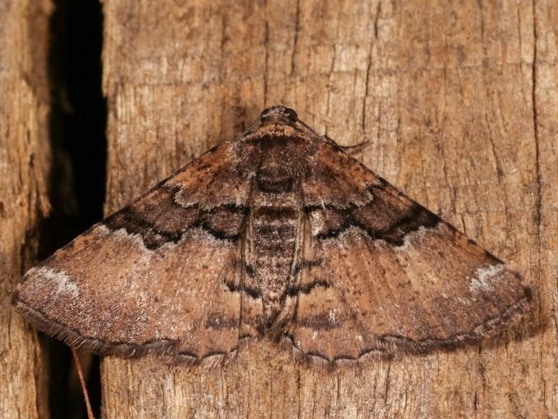 Aporoctena (genus) at Melba, ACT - 3 Nov 2020