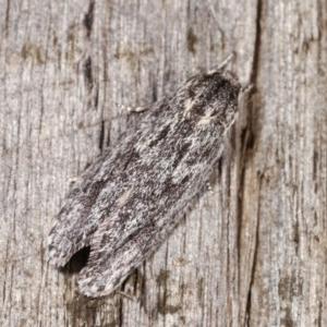 Agriophara (genus) at Melba, ACT - 3 Nov 2020