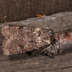 Agrotis porphyricollis (Variable Cutworm) at Melba, ACT - 3 Nov 2020 by kasiaaus