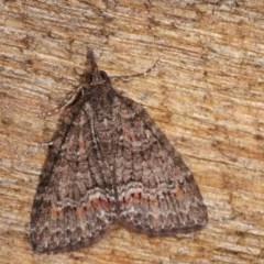 Microdes squamulata (Dark-grey Carpet) at Melba, ACT - 3 Nov 2020 by kasiaaus