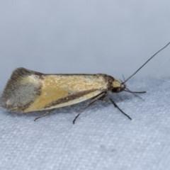 Philobota undescribed species near arabella (A concealer moth) at Melba, ACT - 3 Nov 2020 by kasiaaus