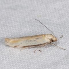Philobota protecta (A concealer moth) at Melba, ACT - 3 Nov 2020 by kasiaaus
