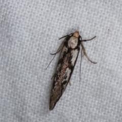 Eusemocosma pruinosa (A Concealer moth) at Melba, ACT - 3 Nov 2020 by kasiaaus