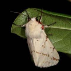 Spilosoma canescens (Light Ermine or Dark-spotted Tiger Moth) at Melba, ACT - 3 Nov 2020 by kasiaaus