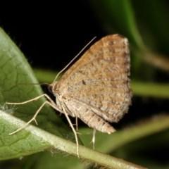 Epyaxa (genus) at Melba, ACT - 3 Nov 2020 by kasiaaus