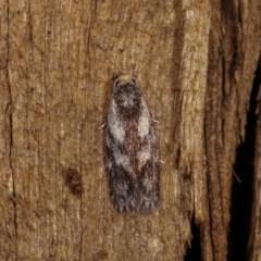 Phylomictis maligna (A Concealer moth) at Melba, ACT - 3 Nov 2020 by kasiaaus