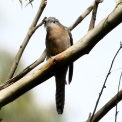 Cacomantis flabelliformis (Fan-tailed Cuckoo) at Exeter - 6 Nov 2020 by Snowflake