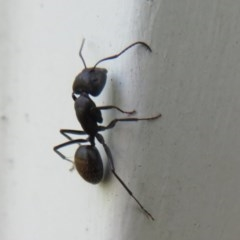 Camponotus aeneopilosus (A Golden-tailed sugar ant) at Flynn, ACT - 5 Nov 2020 by Christine