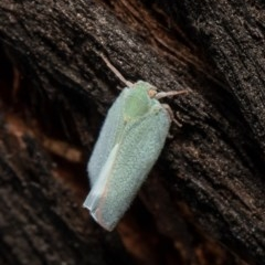 Siphanta acuta (Green planthopper, Torpedo bug) at Umbagong District Park - 5 Nov 2020 by Roger
