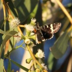 Phalaenoides glycinae (Grapevine Moth) at Hughes, ACT - 6 Nov 2020 by LisaH