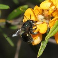 Xylocopa aeratus (Metallic Green Carpenter Bee) at ANBG - 6 Nov 2020 by TimL