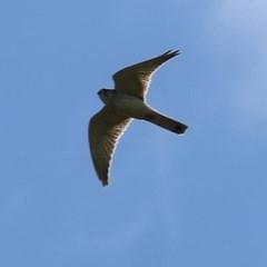 Falco cenchroides (Nankeen Kestrel) at Wodonga - 5 Nov 2020 by Kyliegw