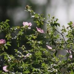 Rosa rubiginosa (Sweet Briar, Eglantine) at Felltimber Creek NCR - 5 Nov 2020 by Kyliegw