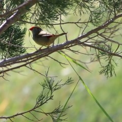 Neochmia temporalis (Red-browed Finch) at Wodonga - 5 Nov 2020 by Kyliegw