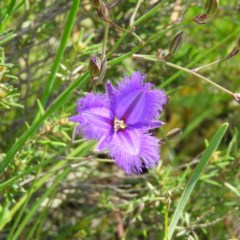 Thysanotus tuberosus subsp. tuberosus (Common Fringe-lily) at Mount Taylor - 1 Nov 2020 by MatthewFrawley