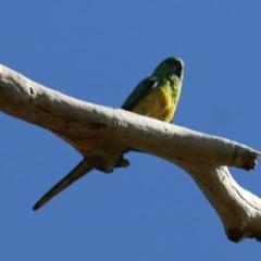 Psephotus haematonotus (Red-rumped Parrot) at Wodonga - 6 Nov 2020 by Kyliegw