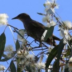 Sturnus vulgaris (Common Starling) at Wodonga - 6 Nov 2020 by Kyliegw