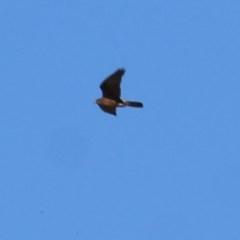 Falco berigora (Brown Falcon) at Wodonga - 6 Nov 2020 by Kyliegw