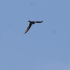 Unidentified Other Birds (TBC) at Wodonga - 6 Nov 2020 by Kyliegw
