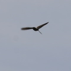 Falco cenchroides (TBC) at Wodonga - 6 Nov 2020 by Kyliegw