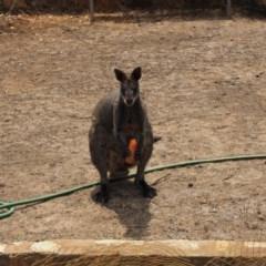 Wallabia bicolor (Swamp Wallaby) at Urila, NSW - 19 Jan 2020 by bambararick