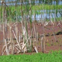 Anas superciliosa (Pacific Black Duck) at Bermagui, NSW - 1 Nov 2020 by JackieLambert