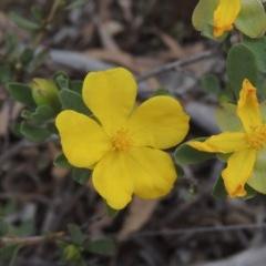 Hibbertia obtusifolia (Grey Guinea-flower) at Gungaderra Grasslands - 5 Oct 2020 by michaelb