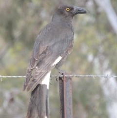 Strepera graculina (Pied Currawong) at Gungaderra Grasslands - 5 Oct 2020 by michaelb