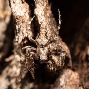 Backobourkia sp. (genus) at Molonglo Gorge - 3 Nov 2020