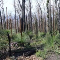 Xanthorrhoea australis at Mount Imlay National Park - 6 Nov 2020