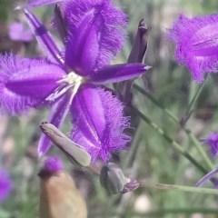 Thysanotus tuberosus subsp. tuberosus (Common Fringe-lily) at Little Taylor Grasslands - 7 Nov 2020 by RosemaryRoth