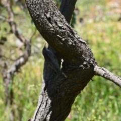 Cormobates leucophaea (White-throated Treecreeper) at Greenleigh, NSW - 7 Nov 2020 by LyndalT