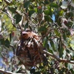 Philemon corniculatus (Noisy Friarbird) at Greenleigh, NSW - 7 Nov 2020 by LyndalT