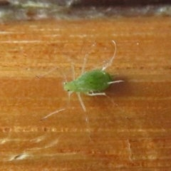 Aphididae (family) (Unidentified aphid) at Flynn, ACT - 6 Nov 2020 by Christine