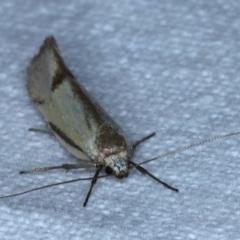 Philobota (genus) (Unidentified Philobota genus moths) at Goorooyarroo - 6 Nov 2020 by jbromilow50