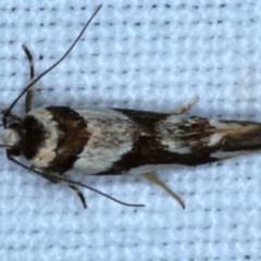 Macrobathra desmotoma ( A Cosmet moth) at Goorooyarroo - 6 Nov 2020 by jbromilow50