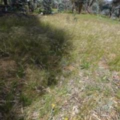 Austrostipa scabra (Corkscrew Grass) at Deakin, ACT - 7 Nov 2020 by JackyF