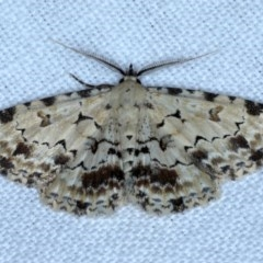 Sandava scitisignata (A noctuid moth) at Goorooyarroo - 6 Nov 2020 by jbromilow50