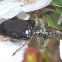 SAGRINAE (A sagrine leaf beetle) at Tianjara, NSW - 6 Nov 2020 by Harrisi