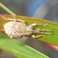 Leptopius sp. (Weevil) at Tianjara, NSW - 6 Nov 2020 by Harrisi