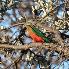 Alisterus scapularis (Australian King-parrot) at Bournda National Park - 6 Nov 2020 by RossMannell