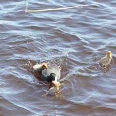 Fulica atra (Eurasian Coot) at Yerrabi Pond - 4 Nov 2020 by TrishGungahlin
