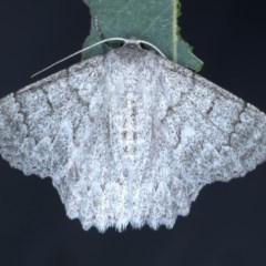 Crypsiphona ocultaria (Red-lined Looper Moth) at Goorooyarroo - 6 Nov 2020 by jbromilow50