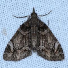 Microdes undescribed species (genus) (A Geometer moth) at Goorooyarroo - 6 Nov 2020 by jbromilow50